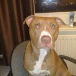 The Stigma around Dogs – The Ugly lies of Pit bull Terriers